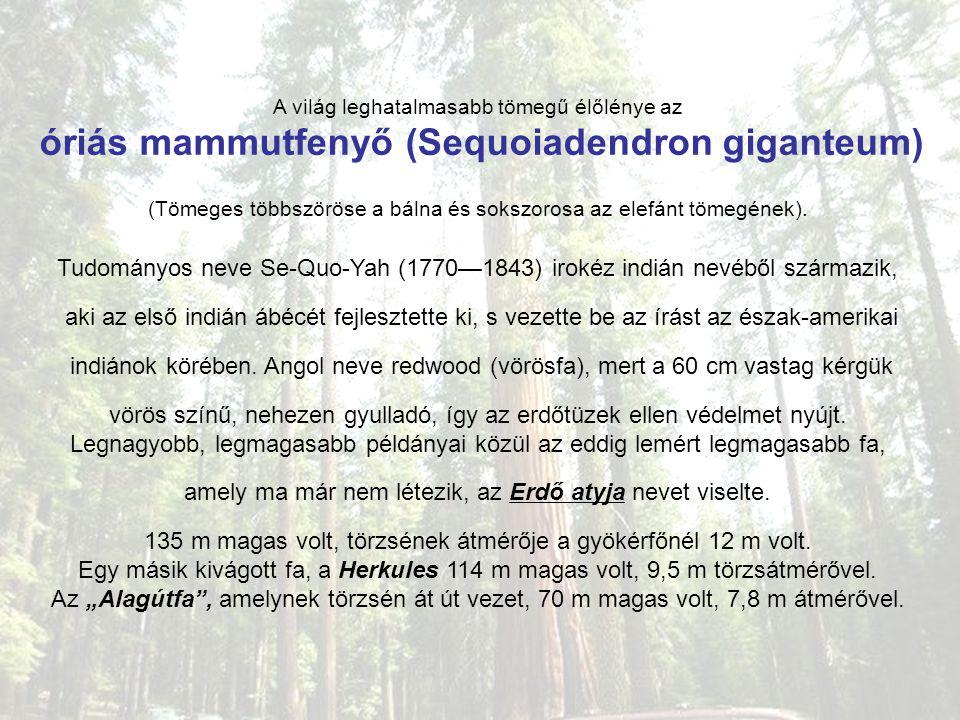 A világ leghatalmasabb tömegű élőlénye az óriás mammutfenyő (Sequoiadendron giganteum) (Tömeges többszöröse a bálna és sokszorosa az elefánt tömegének).