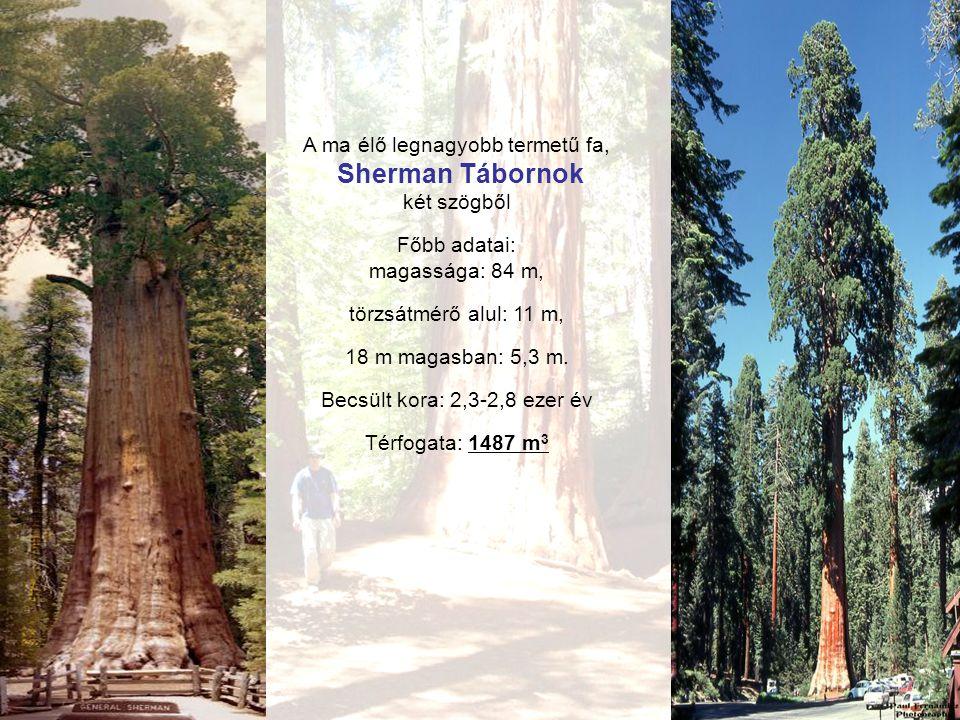 A ma élő legnagyobb termetű fa, Sherman Tábornok két szögből Főbb adatai: magassága: 84 m, törzsátmérő alul: 11 m, 18 m magasban: 5,3 m.