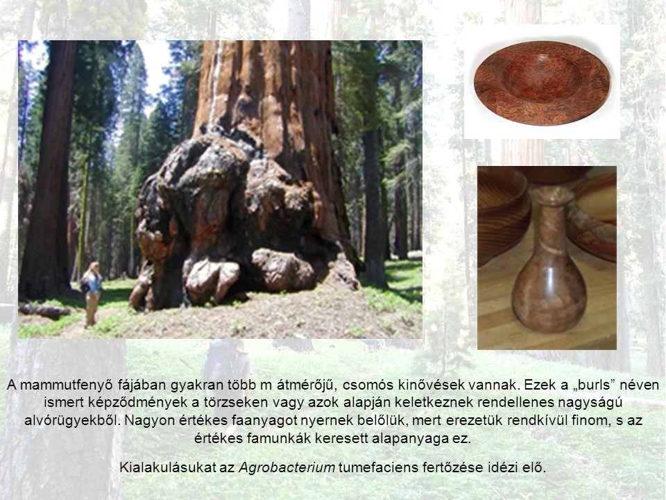 A mammutfenyő fájában gyakran több m átmérőjű, csomós kinővések vannak.