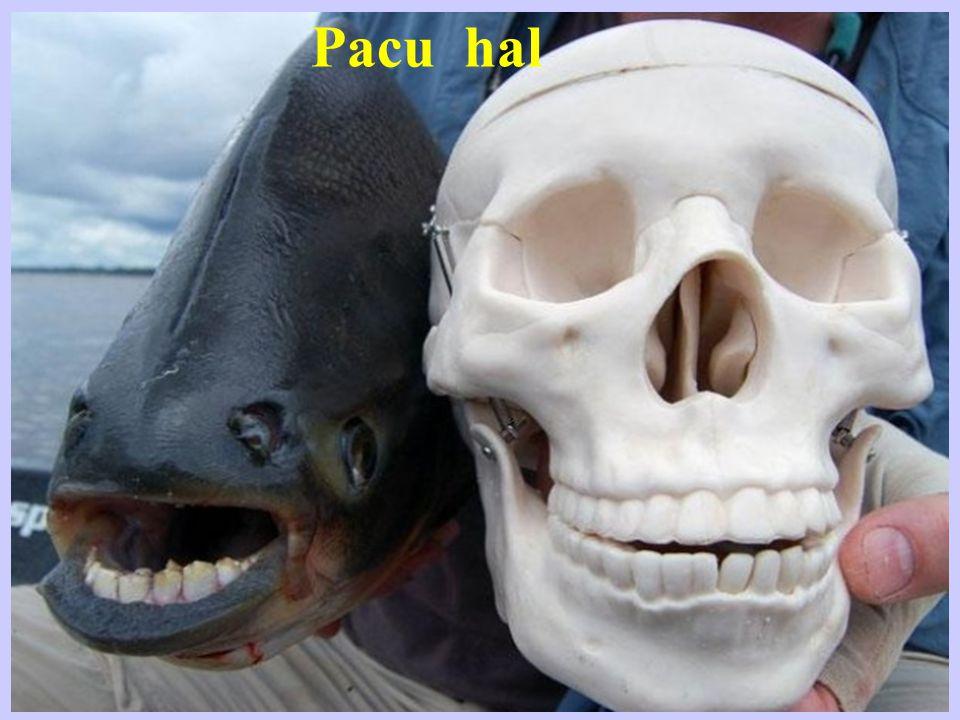 Vörösszájú denevérhal A Galapagos sziget partmenti vizeiben él.
