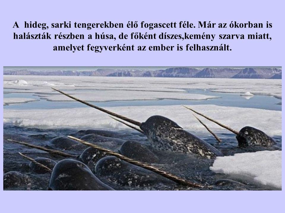 A hideg, sarki tengerekben élő fogascett féle.