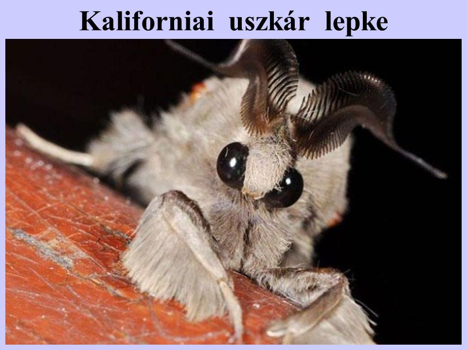 """Tüskés bogár (Umlonia Spinosa) Ez a bizarr külsejű rovar a növényeken élősködik,de nem levélrágó,hanem erős """"skorpió tüskéjé -vel a növény kérgét átdöfve, a nedveket csapolja meg."""