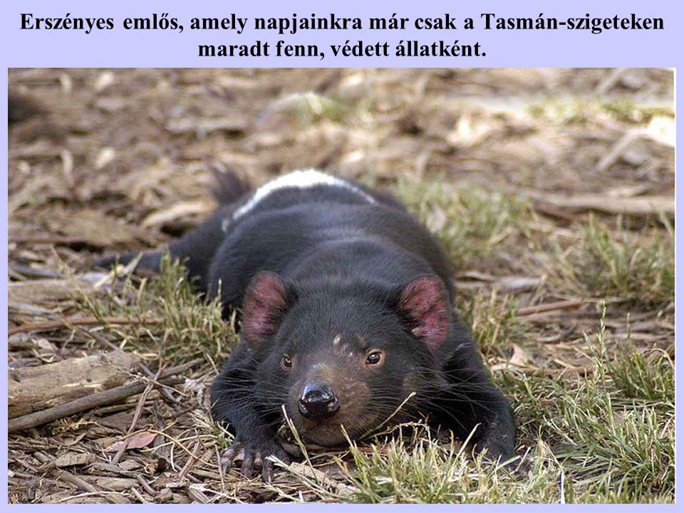 Tasmán ördög