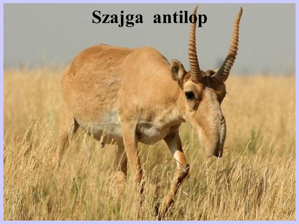Ez a Kongóban élő furcsa állat nem a zebra, hanem a zsiráf rokona!