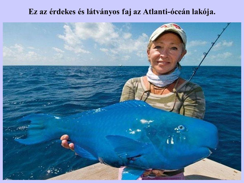 Ez az érdekes és látványos faj az Atlanti-óceán lakója.