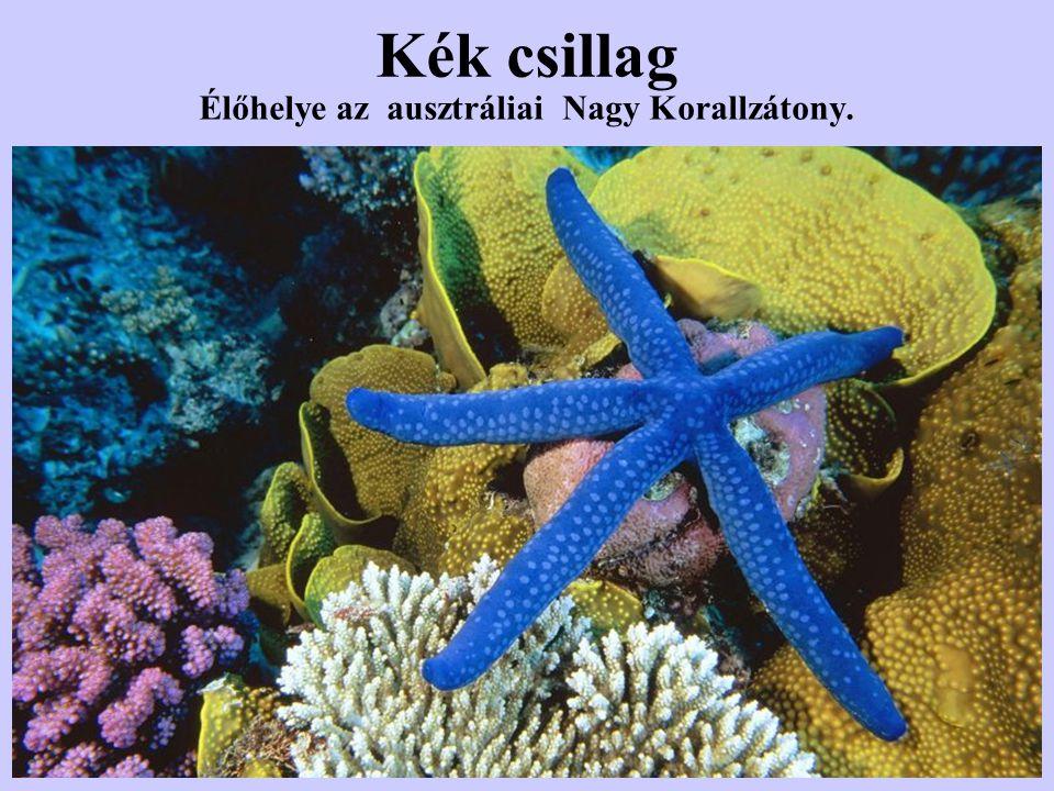 Kék csillag Élőhelye az ausztráliai Nagy Korallzátony.
