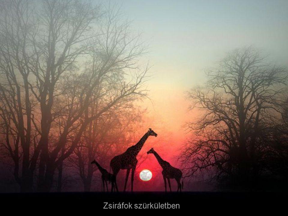 Zsiráfok szürkületben