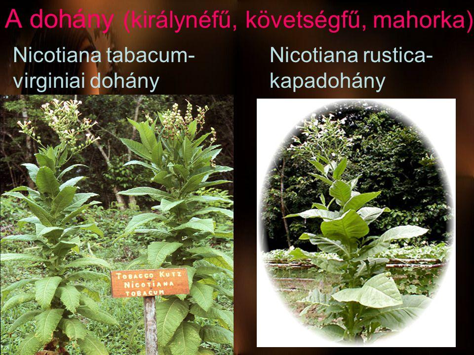 A dohány (királynéfű, követségfű, mahorka) Nicotiana tabacum- virginiai dohány Nicotiana rustica- kapadohány
