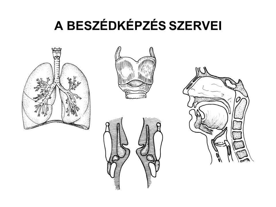 A BESZÉDKÉPZÉS SZERVEI