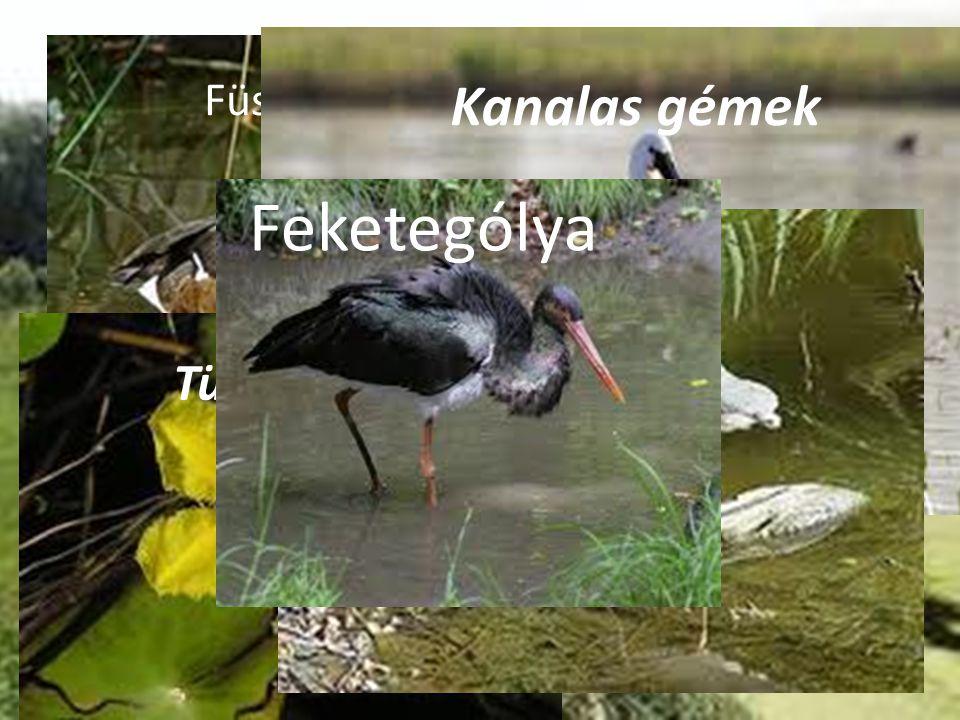 Ramsari területek Magyarországon o Miért jó? o Élőlényei Füstös réce szibériai nőszirom Tündérfátyol Kanalas gémek Bakcsó Feketególya