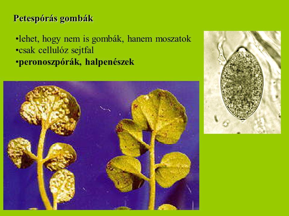Petespórás gombák lehet, hogy nem is gombák, hanem moszatok csak cellulóz sejtfal peronoszpórák, halpenészek