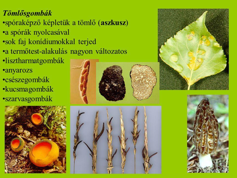 Tömlősgombák spóraképző képletük a tömlő (aszkusz) a spórák nyolcasával sok faj konídiumokkal terjed a termőtest-alakulás nagyon változatos lisztharma