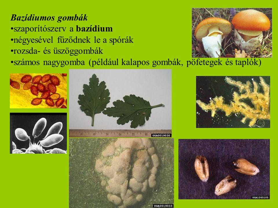 Bazídiumos gombák szaporítószerv a bazídium négyesével fűződnek le a spórák rozsda- és üszöggombák számos nagygomba (például kalapos gombák, pöfetegek