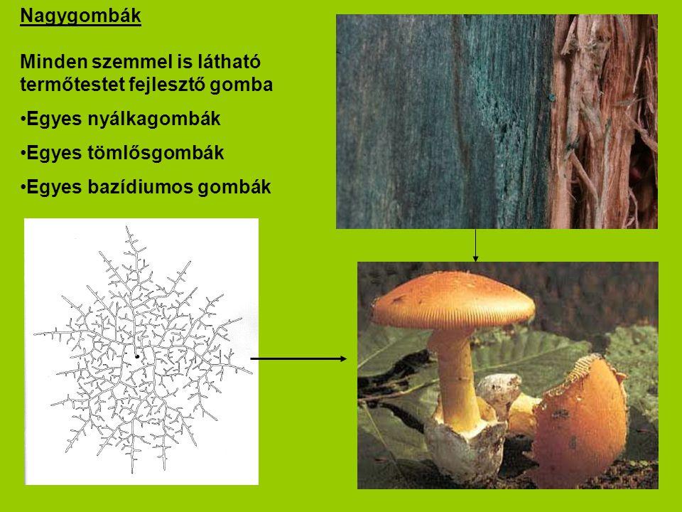 Nagygombák Minden szemmel is látható termőtestet fejlesztő gomba Egyes nyálkagombák Egyes tömlősgombák Egyes bazídiumos gombák