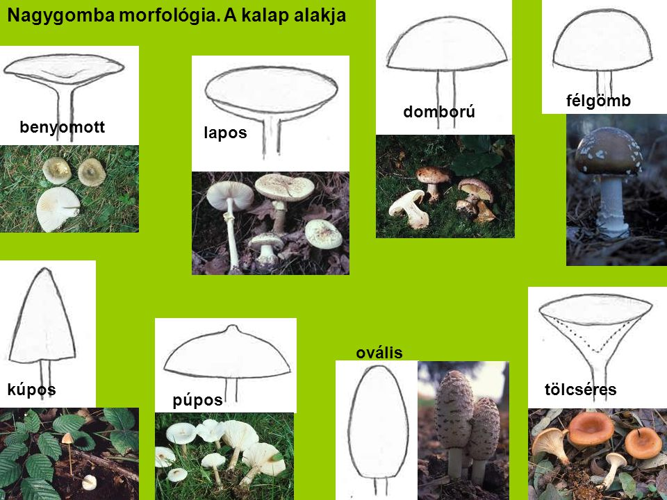 Nagygomba morfológia. A kalap alakja félgömb lapos domború benyomott tölcséres ovális kúpos púpos