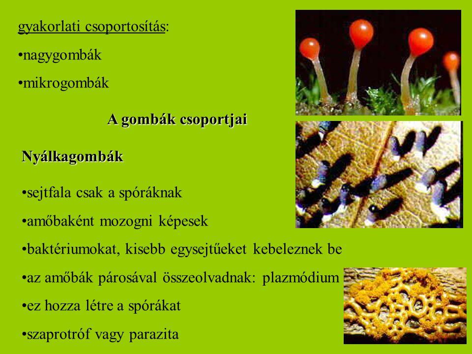gyakorlati csoportosítás: nagygombák mikrogombák Nyálkagombák A gombák csoportjai sejtfala csak a spóráknak amőbaként mozogni képesek baktériumokat, k