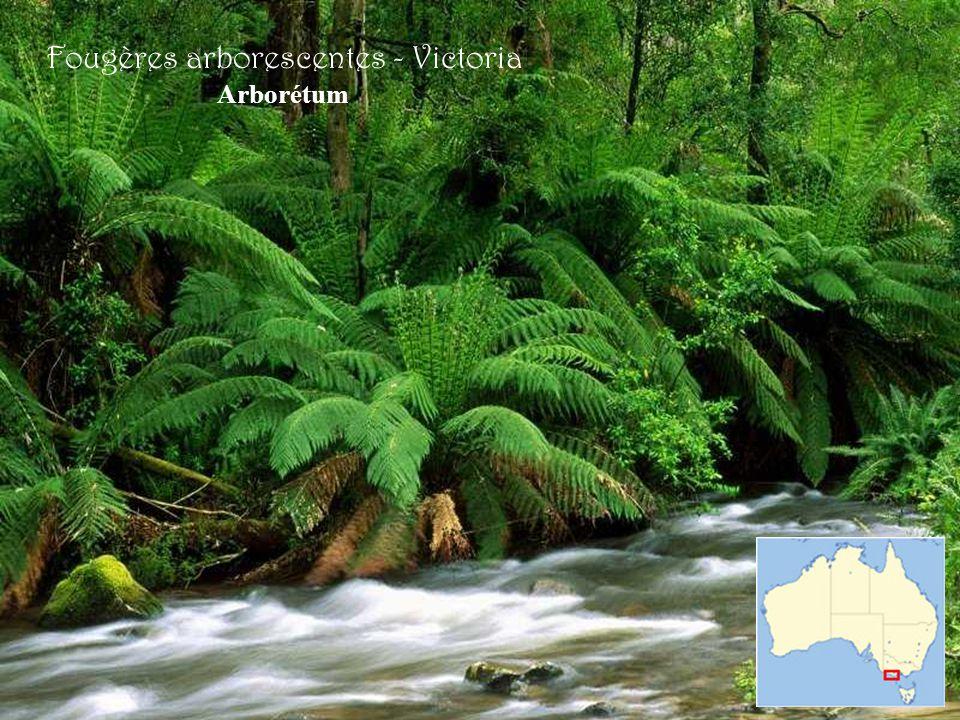 Fougères arborescentes - Victoria Arborétum