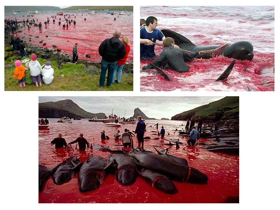 Titokban gyilkoló szigetlakók Évente több mint 200 calderon delfint, vagy más néven pilótabálnát mészárolnak le a Dániához tartozó Feröer-szigeteken (Az Atlanti-óceán északi részén, Skócia és Izland között található.).
