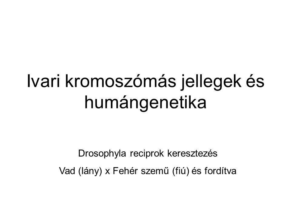 Ivari kromoszómás jellegek és humángenetika Drosophyla reciprok keresztezés Vad (lány) x Fehér szemű (fiú) és fordítva