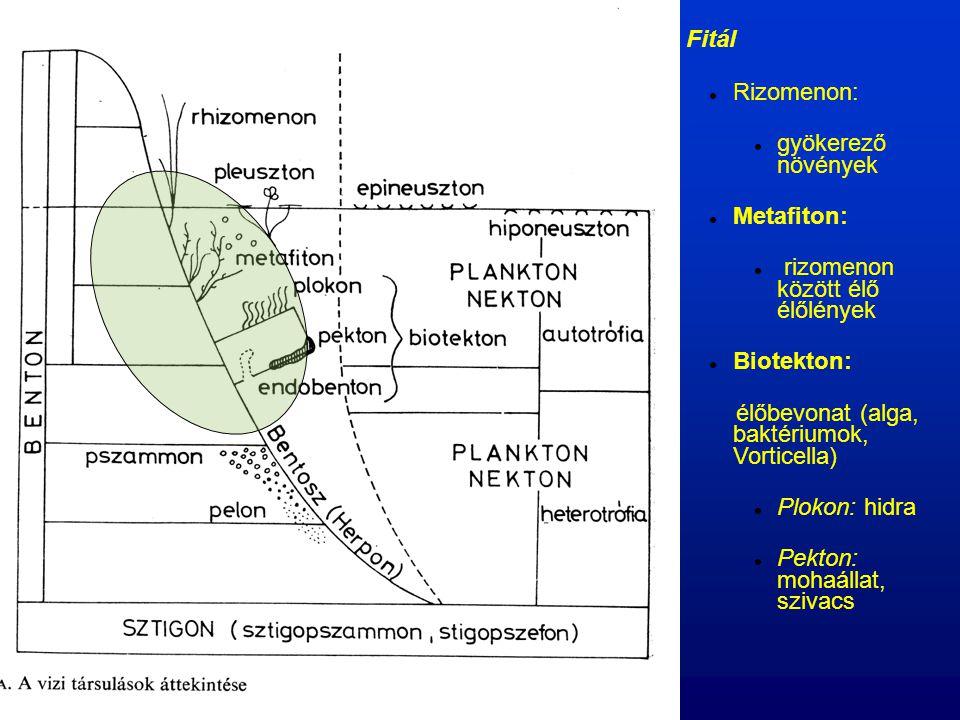 Fitál Rizomenon: gyökerező növények Metafiton: rizomenon között élő élőlények Biotekton: élőbevonat (alga, baktériumok, Vorticella) Plokon: hidra Pek