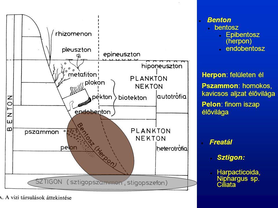 Benton bentosz Epibentosz (herpon) endobentosz Herpon: felületen él Pszammon: homokos, kavicsos aljzat élővilága Pelon: finom iszap élővilága Freatál Sztigon: Harpacticoida, Niphargus sp.