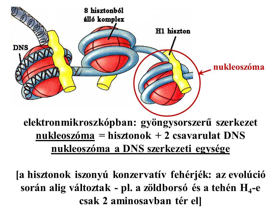 elektronmikroszkópban: gyöngysorszerű szerkezet nukleoszóma = hisztonok + 2 csavarulat DNS nukleoszóma a DNS szerkezeti egysége [a hisztonok iszonyú k