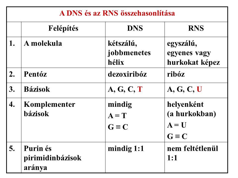 A DNS és az RNS összehasonlítása FelépítésDNSRNS 1.A molekulakétszálú, jobbmenetes hélix egyszálú, egyenes vagy hurkokat képez 2.Pentózdezoxiribózribóz 3.BázisokA, G, C, TA, G, C, U 4.Komplementer bázisok mindig A = T G ≡ C helyenként (a hurkokban) A = U G ≡ C 5.Purin és pirimidinbázisok aránya mindig 1:1nem feltétlenül 1:1