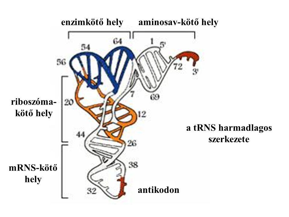 a tRNS harmadlagos szerkezete aminosav-kötő helyenzimkötő hely antikodon mRNS-kötő hely riboszóma- kötő hely