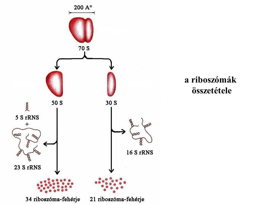 a riboszómák összetétele