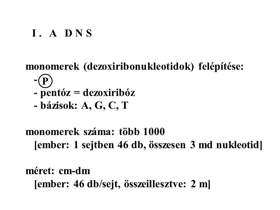 I. A D N S monomerek (dezoxiribonukleotidok) felépítése: - - pentóz = dezoxiribóz - bázisok: A, G, C, T monomerek száma: több 1000 [ember: 1 sejtben 4