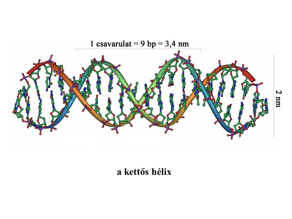 sejten belüli membránrendszerhez kötött riboszómák