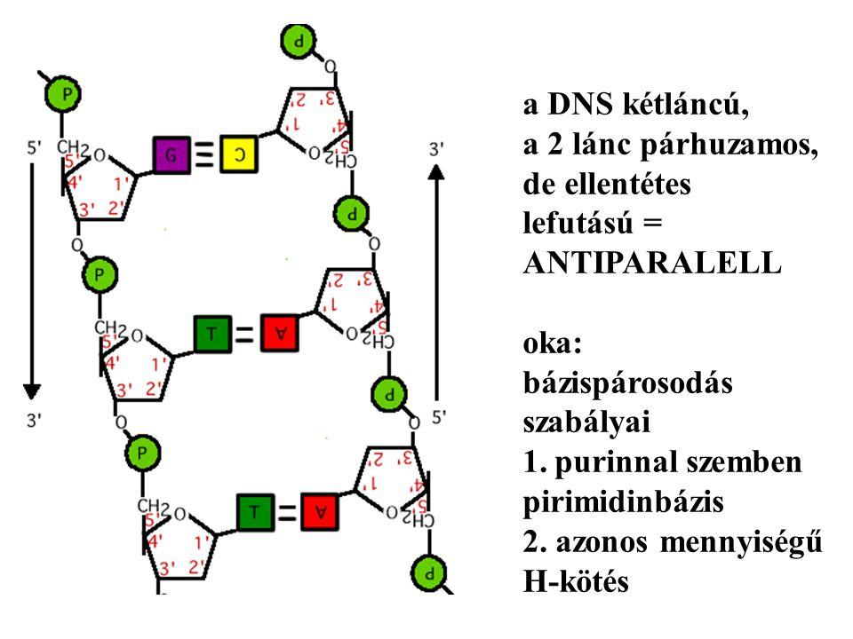 a DNS kétláncú, a 2 lánc párhuzamos, de ellentétes lefutású = ANTIPARALELL oka: bázispárosodás szabályai 1.purinnal szemben pirimidinbázis 2.
