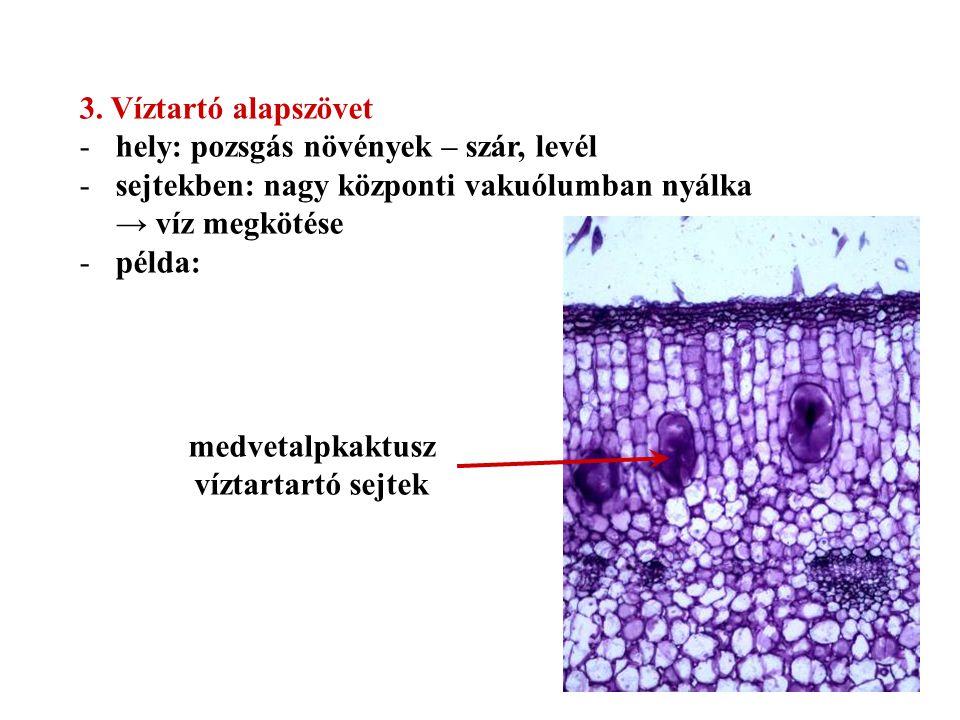3. Víztartó alapszövet -hely: pozsgás növények – szár, levél -sejtekben: nagy központi vakuólumban nyálka → víz megkötése -példa: medvetalpkaktusz víz