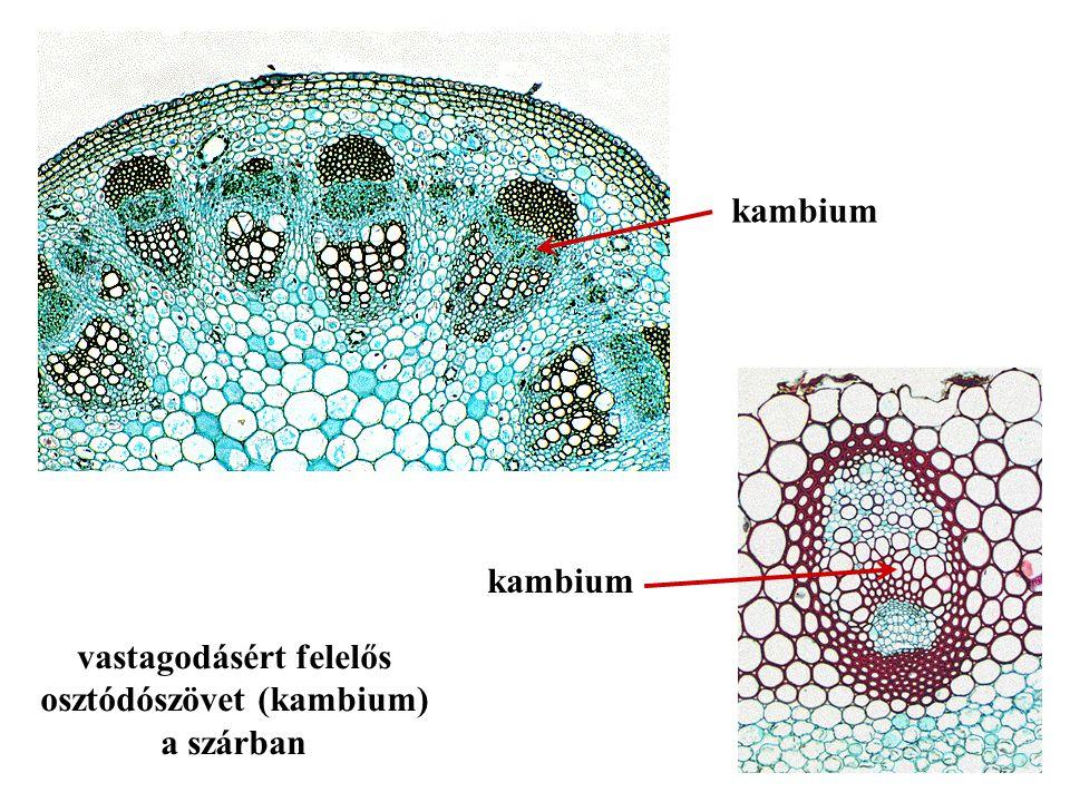 kambium vastagodásért felelős osztódószövet (kambium) a szárban