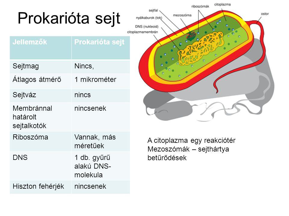 Eukarióta állati sejt JellemzőkProkarióta sejt Sejtmagvan Átlagos átmérő10-100 mikrométer Sejtvázvan Membránnal határolt sejtalkotók többféle RiboszómaVannak, más méretűek DNSTöbb fonál alakú DNS- molekula Hiszton fehérjékvannak A citoplazma belső membránokkal több reakciótérre van tagolva