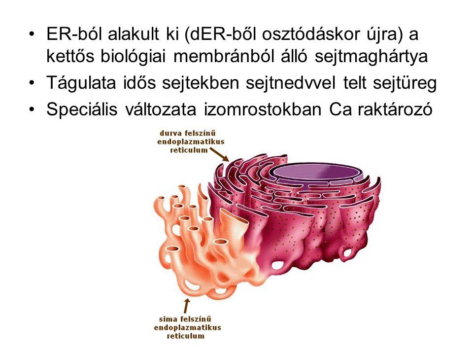 ER-ból alakult ki (dER-ből osztódáskor újra) a kettős biológiai membránból álló sejtmaghártya Tágulata idős sejtekben sejtnedvvel telt sejtüreg Speciá