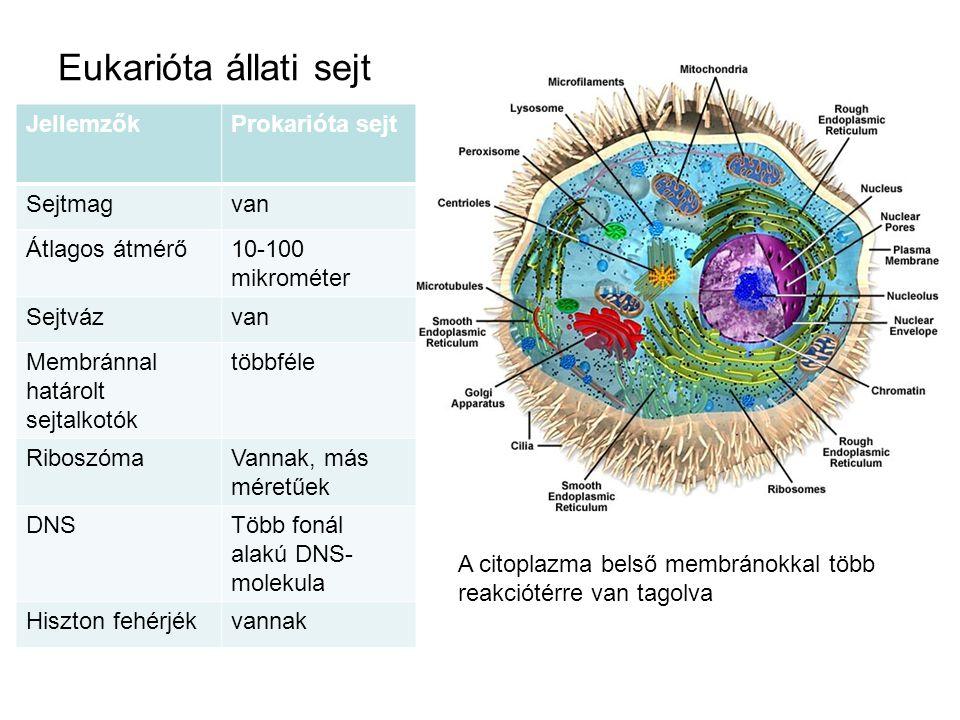 Eukarióta állati sejt JellemzőkProkarióta sejt Sejtmagvan Átlagos átmérő10-100 mikrométer Sejtvázvan Membránnal határolt sejtalkotók többféle Riboszóm