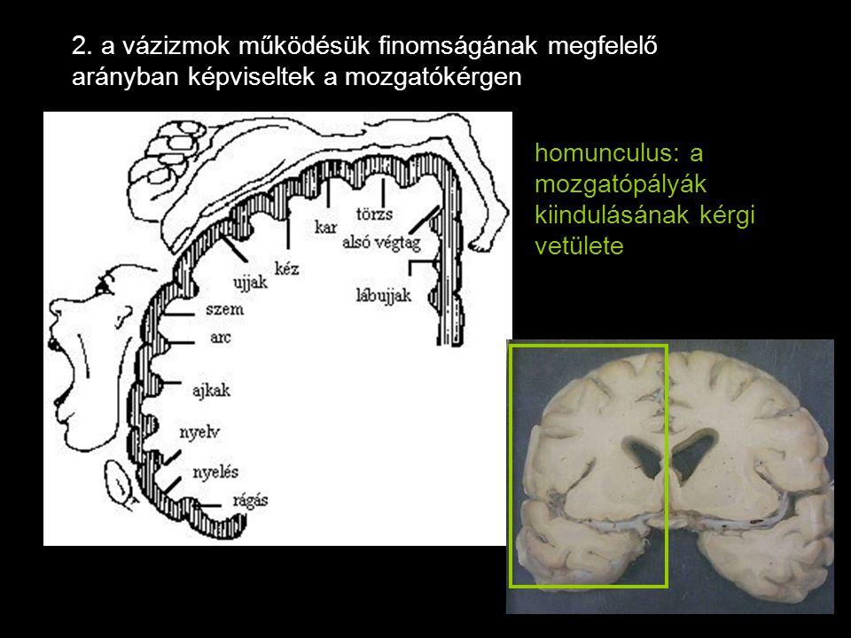 2. a vázizmok működésük finomságának megfelelő arányban képviseltek a mozgatókérgen homunculus: a mozgatópályák kiindulásának kérgi vetülete