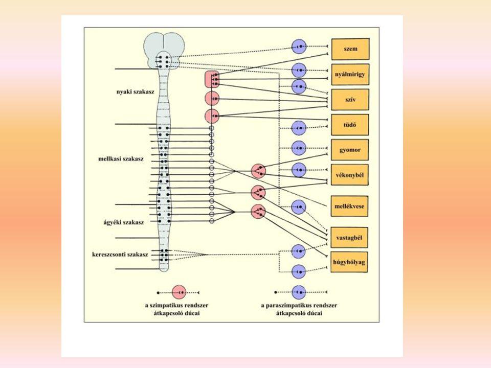 A vegetatív idegrendszer felépítése az érző rostok lefutása és felépítése azonos a szomatikus idegrendszerével a vegetatív központok szigorúan hierarchikus működésűek: – a gerincvelői és agytörzsi egyszerű vegetatív reflexeket a nyúltagy elsődleges vegetatív központjai (légzés, keringés, táplálkozás)rendezik össze, az elsődleges kp-ok szabályozó hatása már lehetővé teszi az ember életben maradását (ld.