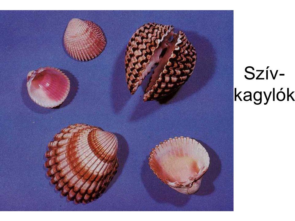Szív- kagylók