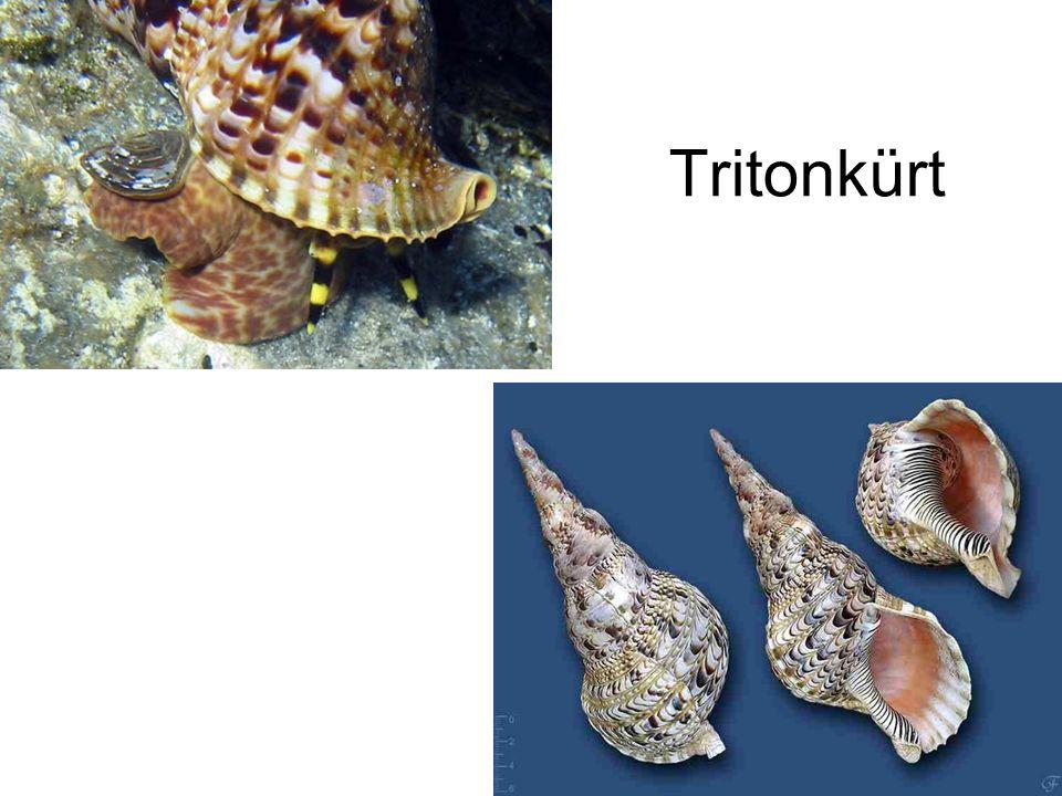 Tritonkürt