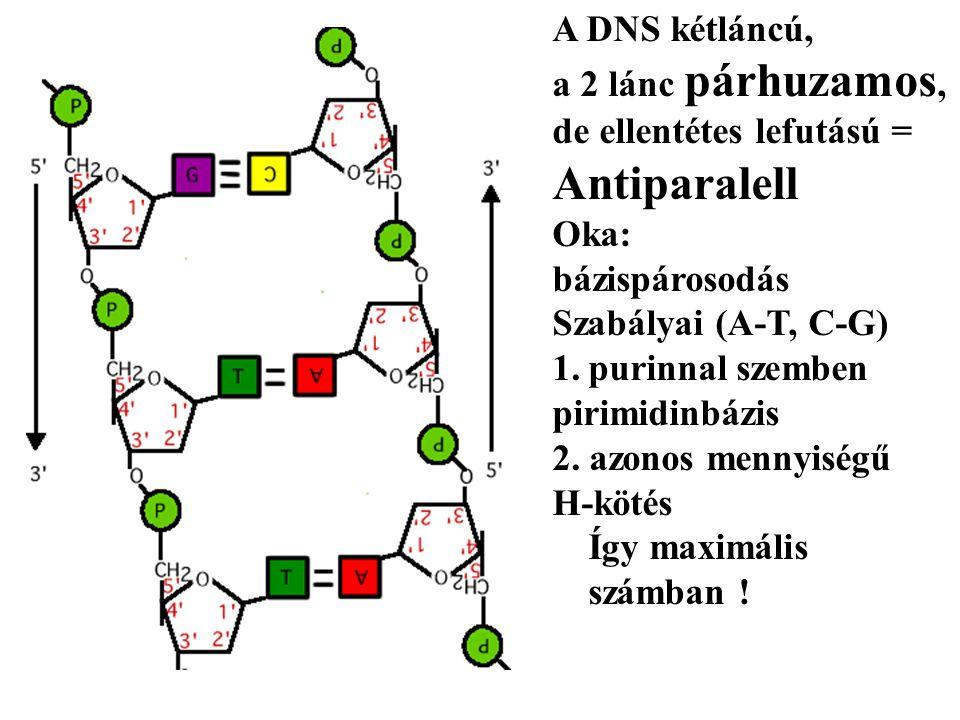 A DNS kétláncú, a 2 lánc párhuzamos, de ellentétes lefutású = Antiparalell Oka: bázispárosodás Szabályai (A-T, C-G) 1.purinnal szemben pirimidinbázis 2.