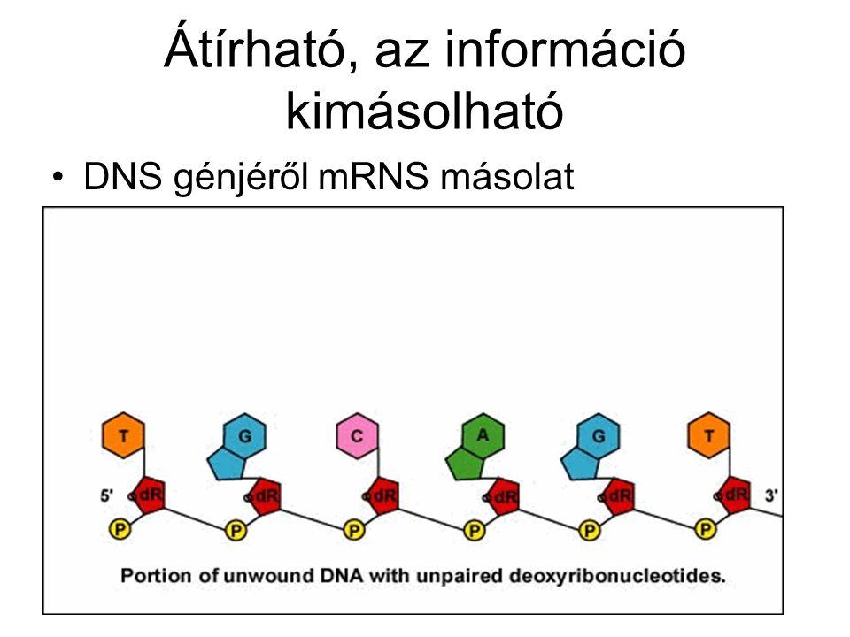Átírható, az információ kimásolható DNS génjéről mRNS másolat