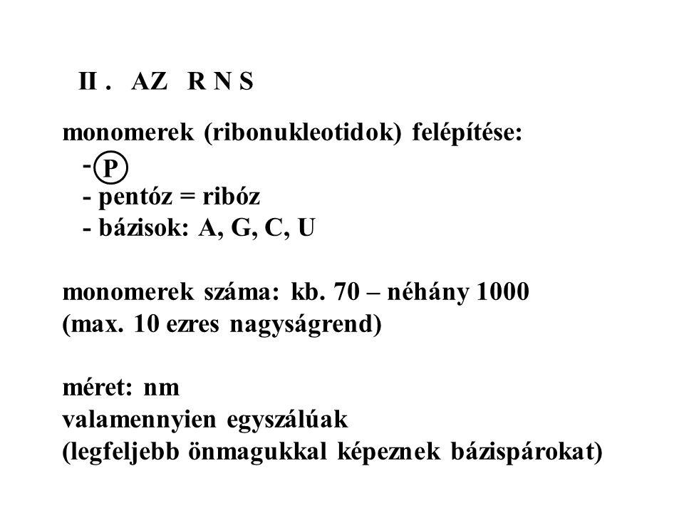 II. AZ R N S monomerek (ribonukleotidok) felépítése: - - pentóz = ribóz - bázisok: A, G, C, U monomerek száma: kb. 70 – néhány 1000 (max. 10 ezres nag