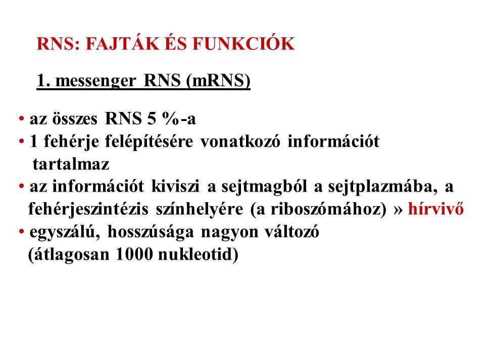 RNS: FAJTÁK ÉS FUNKCIÓK 1. messenger RNS (mRNS) az összes RNS 5 %-a 1 fehérje felépítésére vonatkozó információt tartalmaz az információt kiviszi a se