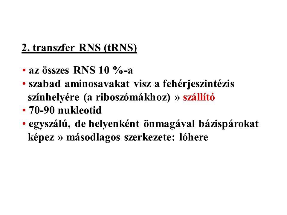 2. transzfer RNS (tRNS) az összes RNS 10 %-a szabad aminosavakat visz a fehérjeszintézis színhelyére (a riboszómákhoz) » szállító 70-90 nukleotid egys