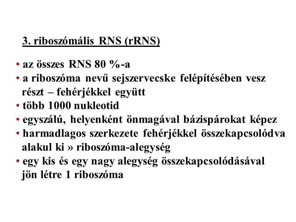 3. riboszómális RNS (rRNS) az összes RNS 80 %-a a riboszóma nevű sejszervecske felépítésében vesz részt – fehérjékkel együtt több 1000 nukleotid egysz