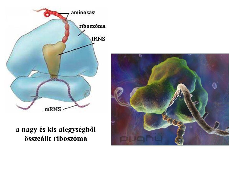 a nagy és kis alegységből összeállt riboszóma