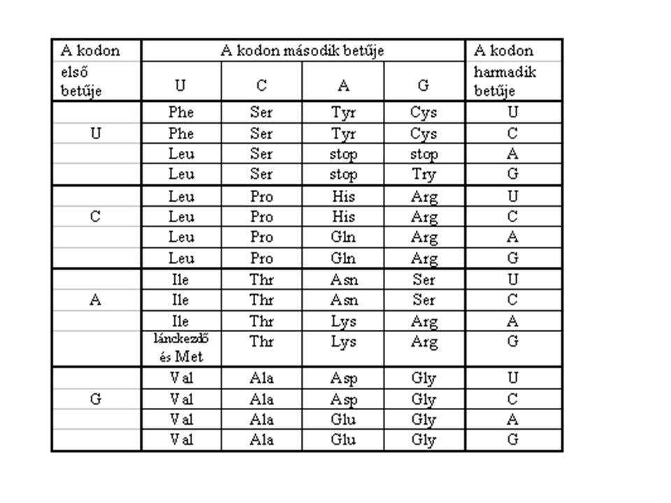 F E L É P Í T É S - több 100 / 1000 nukleotid összekapcsolódása (korlátlan mennyiségben) a 3.
