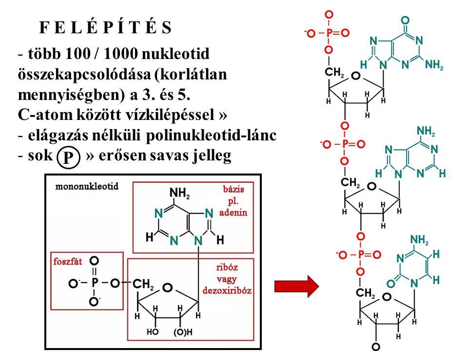 F E L É P Í T É S - több 100 / 1000 nukleotid összekapcsolódása (korlátlan mennyiségben) a 3. és 5. C-atom között vízkilépéssel » - elágazás nélküli p